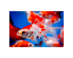 Fantail goldfish red&white