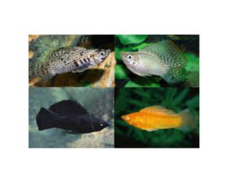 Sailfin assorted