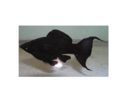 Sailfin black lyretail